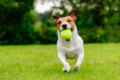 テニスボールをくわえて走る犬