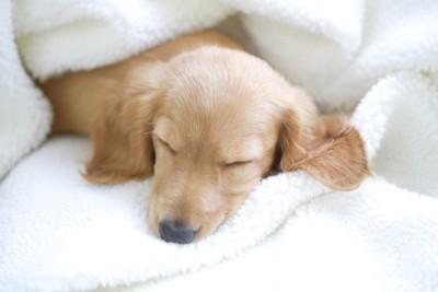 毛布にくるまって昼寝をする子犬