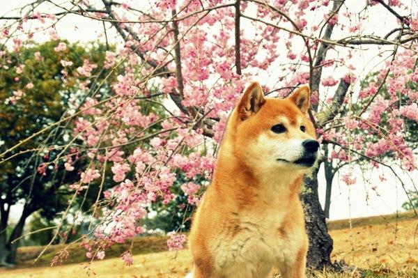 桜と柴犬の写真