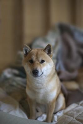 布団の上から見つめる柴犬