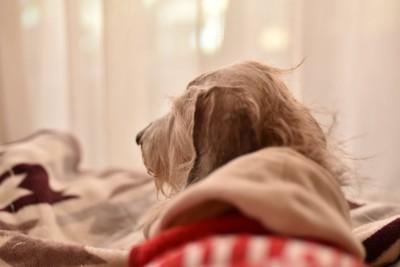 ベッドの上で休む老犬の後ろ姿