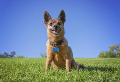 骨の形の名札を付けた犬、青空と芝生