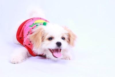 かわいい服を着ている子犬