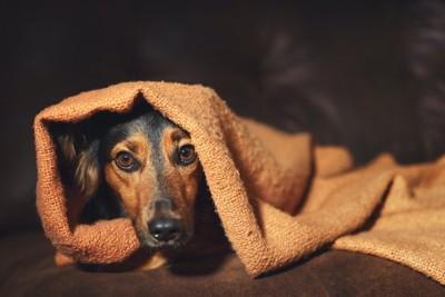 毛布にくるまって不安げな犬