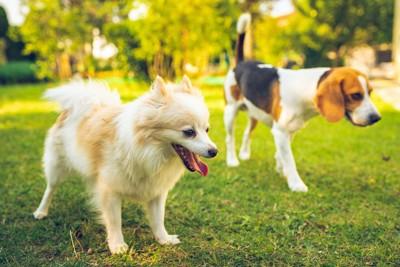 芝生を並んで歩くポメラニアンとビーグル犬