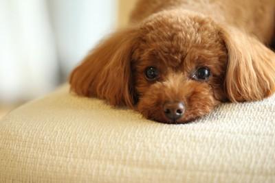 ソファーに伏せて見つめるトイプー
