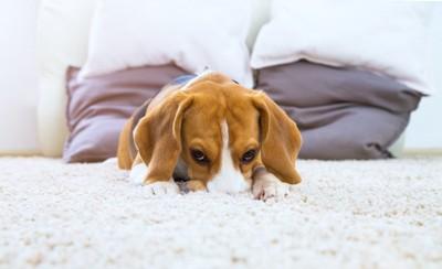ラグに顔を埋めてフセをする犬