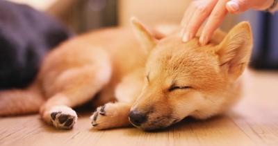 頭を撫でられながら眠る犬