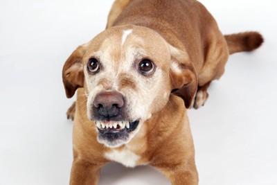 歯を剥きだしている犬