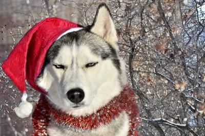 サンタの格好をさせられて不満そうに目を細める犬