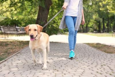 お散歩するラブラドールとジーンズを履いた女性