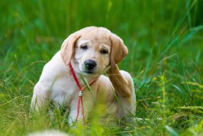 体をかくゴールデンレトリーバーの子犬