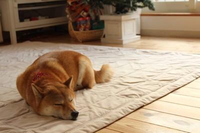カーペットの上で寝ている柴犬