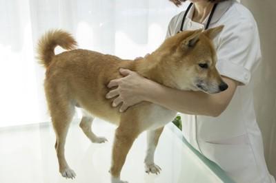 診察台に乗っている柴犬