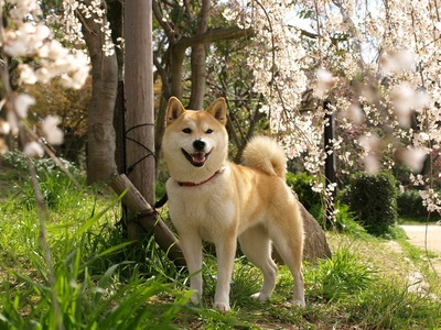 枝垂れ桜と柴犬