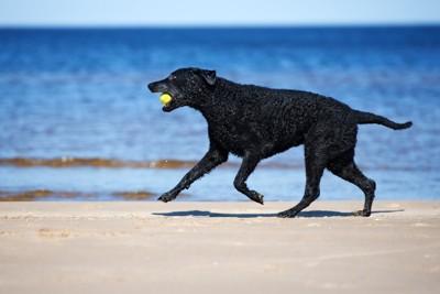 海で遊ぶ位カーリーコーテッドレトリーバー