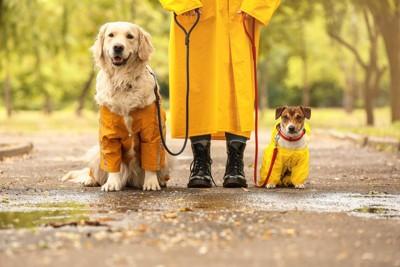 レインコートを着た犬二頭と人
