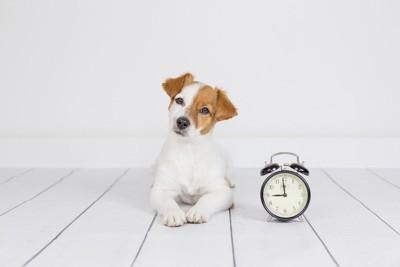 目覚まし時計の横で首をかしげる犬