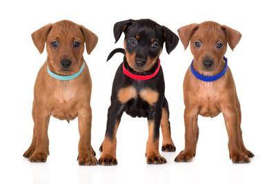 3匹のミニチュアピンシャーの幼犬