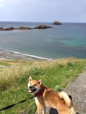 海岸を散歩する柴犬
