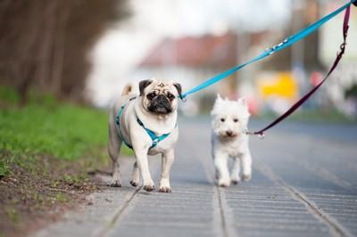 お散歩する二頭の犬