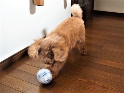 ボールで遊ぶトイプードル