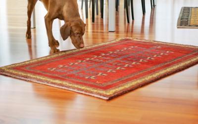 じゅうたんの匂いを嗅ぐ犬