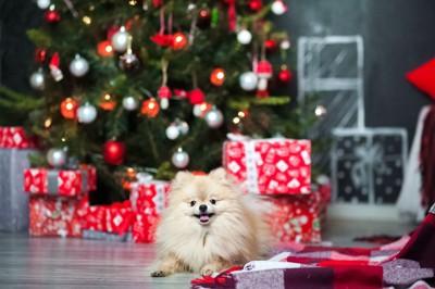 ポメラニアン、背景にツリーとプレゼントの箱
