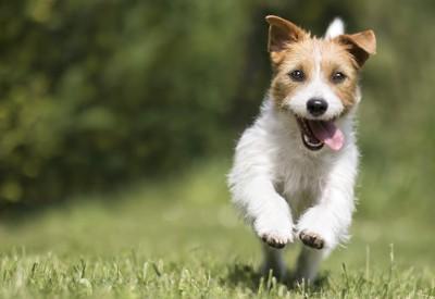 舌を出して嬉しそうに走っている犬