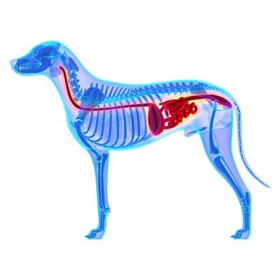 犬の骨格と内臓のイラスト