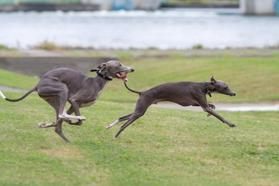 走る二匹のイタリアングレーハウンド