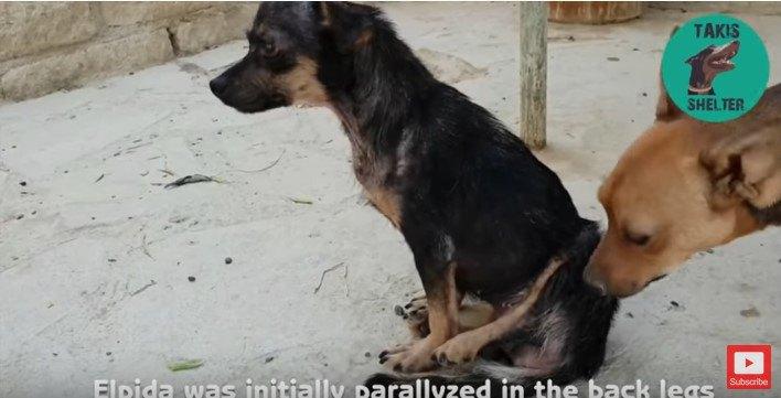 マヒした後足を浮かして座る犬