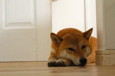 部屋の隅に伏せる柴犬