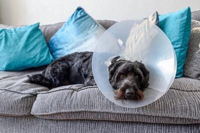 エリザベスカラーをつけてソファーに寝ている犬