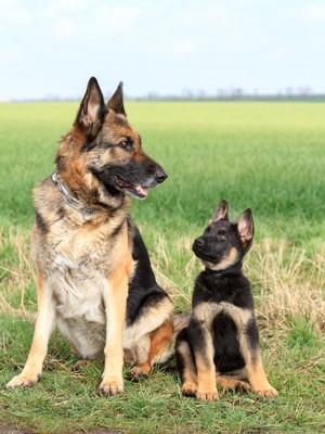 シェパードの成犬と子犬