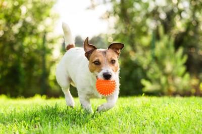 芝生の上をオモチャを咥えて走る犬