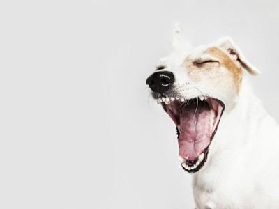 口を大きく開けるジャックラッセルテリア