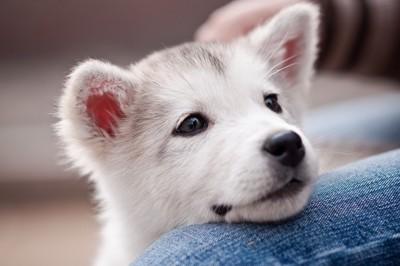 膝に頭を乗せている白い犬