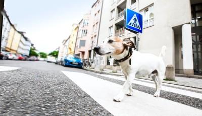 横断歩道を歩く犬