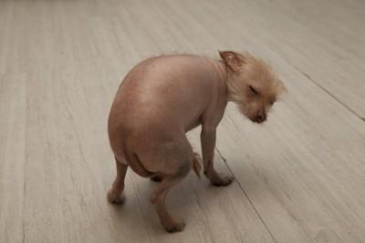 しっぽを丸める犬