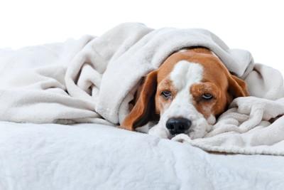 ブランケットに包まれてぼんやりと目を開けた犬