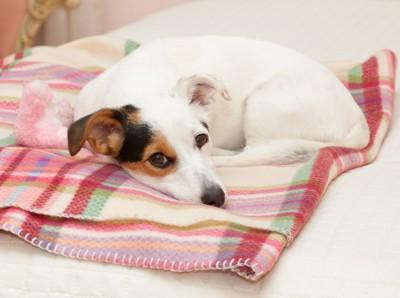 毛布の上で休むジャックラッセルテリア