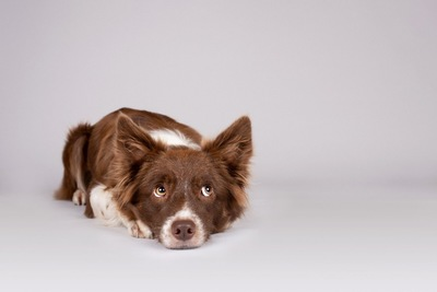 床に伏せて音に反応する犬