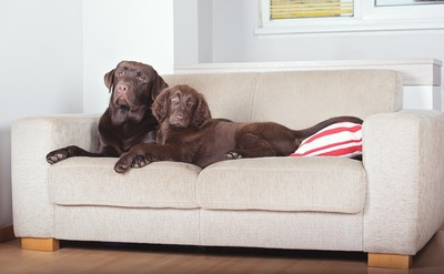 ソファーを陣取る2匹の犬