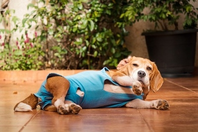 術後服を着た犬