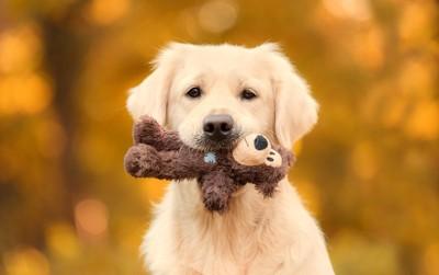 熊のおもちゃを持っているゴールデンの子犬