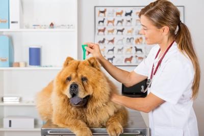 ダニ予防の薬を塗る犬