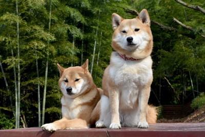 伏せている柴犬と座っている柴犬