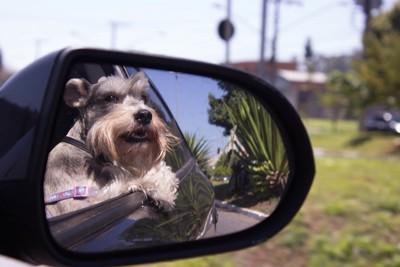 車のサイドミラーに映る犬