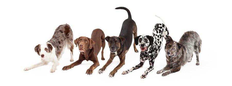 遊ぼうのポーズの5頭の犬